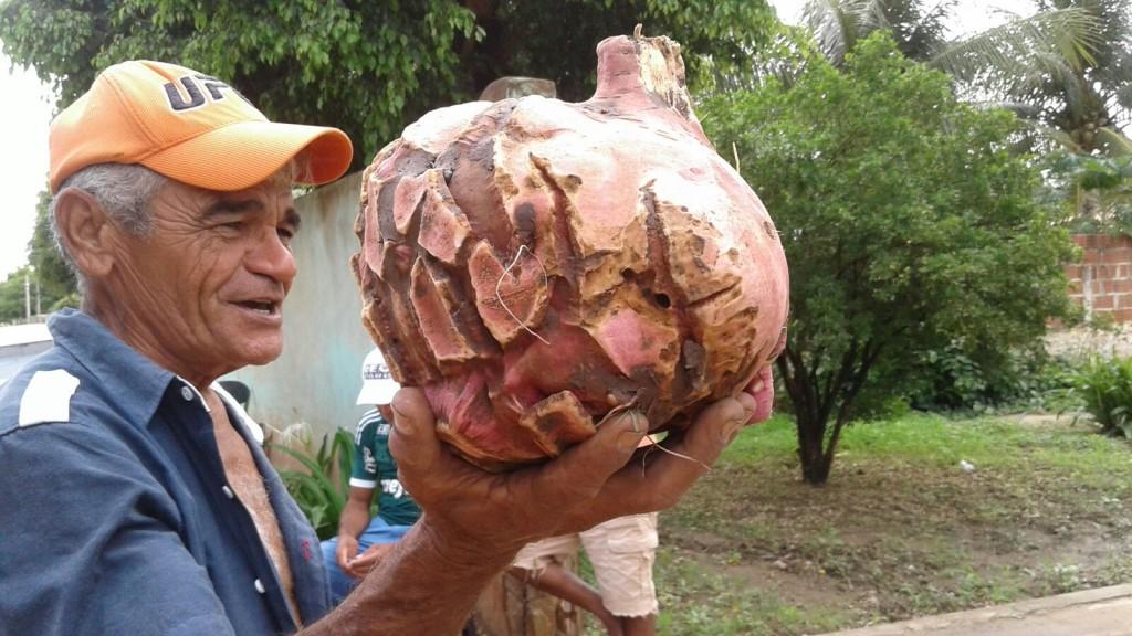 Batata-doce gigante é encontrada no interior do Ceará (FOTO: Iguatu.net)