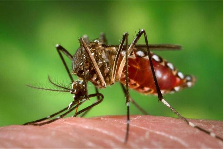 Aedes aegypti, mosquito transmissor da dengue, chikungunya e zika. (FOTO: Reprodução)