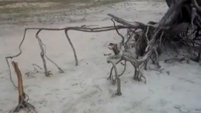 Árvore da Preguiça de Jericoacoara é alvo de vandalismo no final de semana